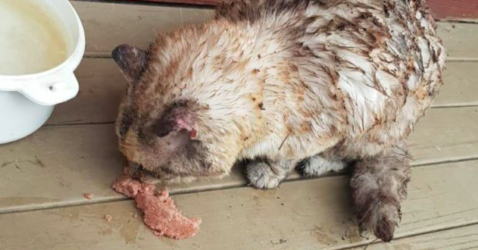 Australian cat with burned fur due to fire eating cat food