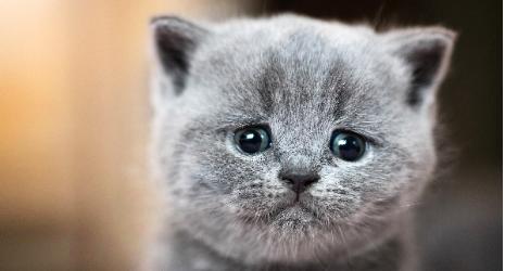 A dark gray kitten crying