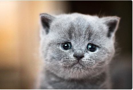 A dark gray kitten crying
